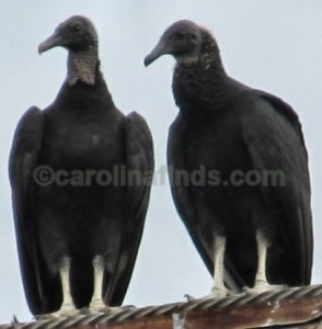 watermarked buzzard pair