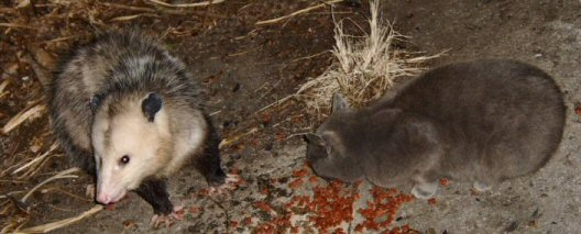 possum and cat eating